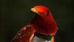 King bird of paradise portrait