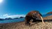 A Komodo dragon walking on a beach