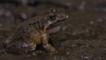 Coastal mud frog in mud