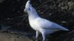 A white little corella standing at edge of water