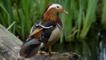 Mandarin duck standing on a waterside log