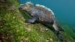 Marine iguana feeding on underwater algae
