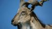 Close-up of a markhor wild goat showing horns