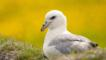 Fulmar sitting on grass (c) John Moncrieff