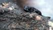 Venezuela pebble toad climbing over a rock