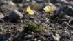 Arctic poppies growing on Ellesmere Is. Canada