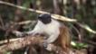 Pied tamarin clinging to tree branch