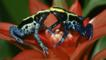 Two colourful dyeing poison arrow frogs touching noses