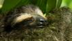 Pygmy three-toed sloth curled up asleep