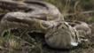 African rock python coming towards camera