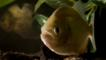 Close-up of a red bellied piranha fish