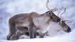 A couple of reindeer in the snow