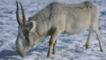 Male saiga antelope walking on snow