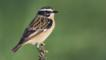 Male whinchat perched on a bush