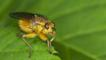 Common yellow dung fly on a leaf