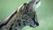 Portrait of a serval cat