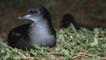 Short-tailed shearwater on nest in southern Australia