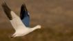A snow goose in flight