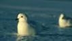 Snow petrels sitting on ice