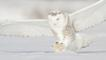 Snowy owl hunting for prey in winter snow