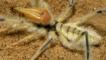 Camel spider in the Namibian desert 