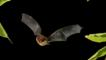 Soprano pipistrelle in flight