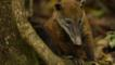 South American coati at the base of a tree