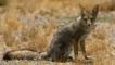 South American grey fox sitting on ground