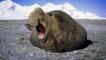 A southern elephant seal makes a threat display