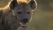 A spotted hyena's face