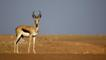 A male springbok standing on sands