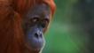 A female orangutan