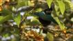A male superb bird of paradise in the rainforest canopy