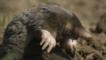 European mole climbing out of hill