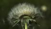 Wind blowing dandelion seeds