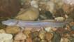 Texas blind salamander walking on pebbles