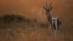 Thomson's gazelle on savanna at sunrise