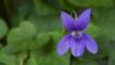 Sweet violet flower in France