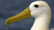 Profile of a waved albatross