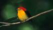 A colourful manakin bird perched on a branch in the rainforest