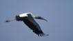 American wood ibis in flight
