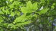 Sunlight on sycamore tree leaves