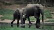 A female forest elephant and calf walking beside water