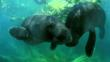 Pair of Amazonian manatees