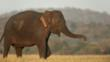 An Asian elephant 