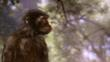 Australopithecus, an early human ancestor