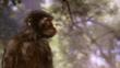 Australopithecus, an early human ancestor