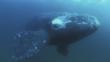 Bowhead whale just under the Arctic ice