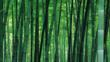 A Japanese bamboo forest