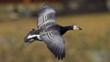 Adult barnacle goose in flight 